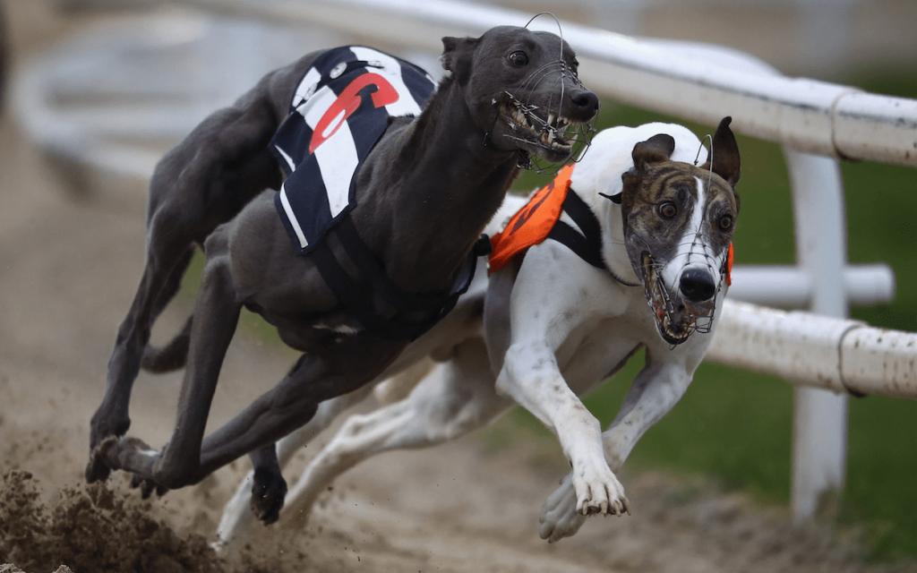 greyhound results uk